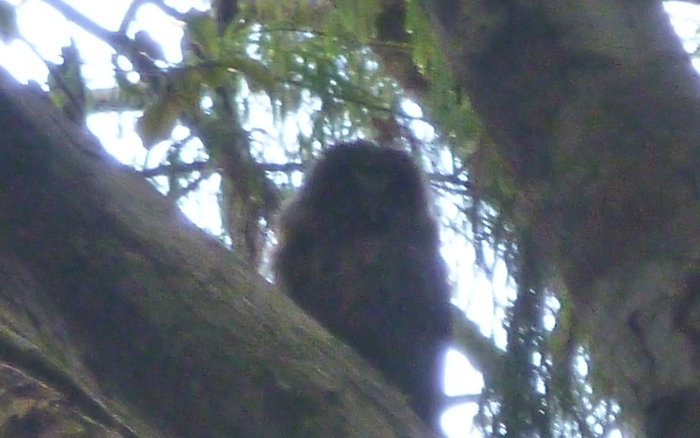 Morepork sighting, Waitakere Ranges
